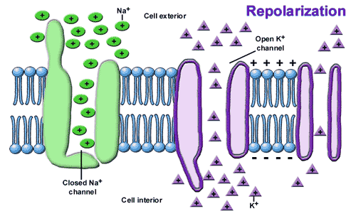 9.5 Cell Membrane Potential Resting Potential / Threshold