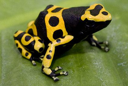 Drugs that Affect Synapses and Neurotransmitters Curare - poison made from frog