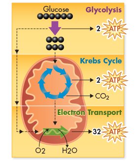 Energy Totals In the presence of oxygen, the complete breakdown of glucose through cellular respiration results in the production