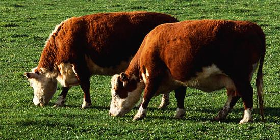 There will be less corn and feed grains used by the beef industry.