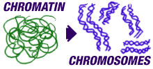 Chromatin In nucleus Genetic material (DNA) of cell in its non-dividing