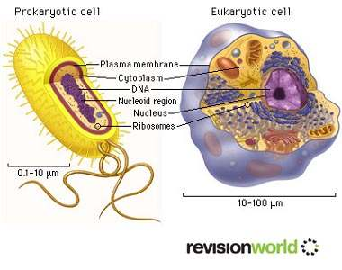 Cell Organelle Two Types of Cell Prokaryotes (Prokaryotic Cells) Eukaryotes (Eukaryotic Cells)