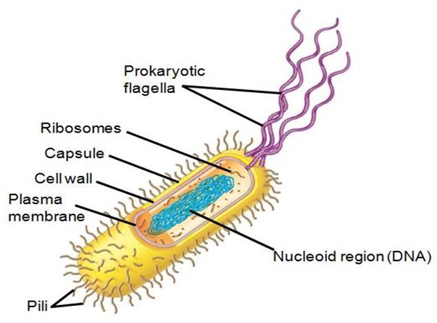 Solution II Answer: E Justification: Prokaryotic cells have no membrane-bound organelles, therefore cells have DNA but is not compartmentalized or separated from other parts of cell.