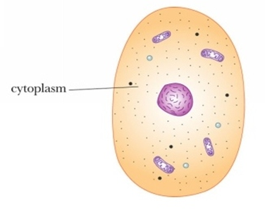 Cytoplasm Clear, gelatinous fluid inside the cell that contains needed molecules, proteins, amino acids, ions,