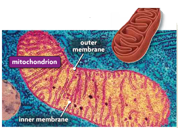 Mitochondria Power House of the cell Produces a usable form of Energy for
