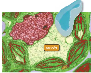 Vacuole Fluid filled sac used to temporarily store food, water, enzymes, and