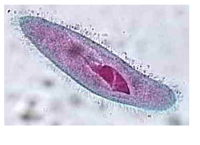 Cilia Short numerous projections Look like hairs Function like oars in a