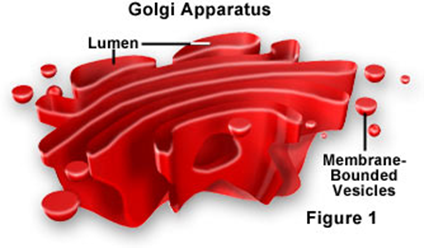 Golgi Apparatus (Bodies) Closely stacked, flattened membrane sacs Modify, collect, and sort