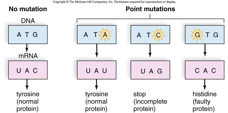 Gene mutations affect how a single protein is formed. A Point Mutation is a mutation that affects only one amino acid.
