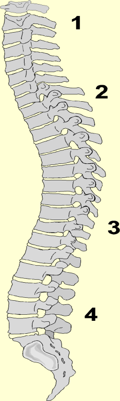 The Spine The shape of the spine consists of four defined curves; it is not straight and rigid 1. Cervical (neck) The smallest vertebra that supports the smallest amount of weight.
