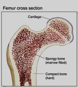 Microscopic Structures 1. Compact bone a.