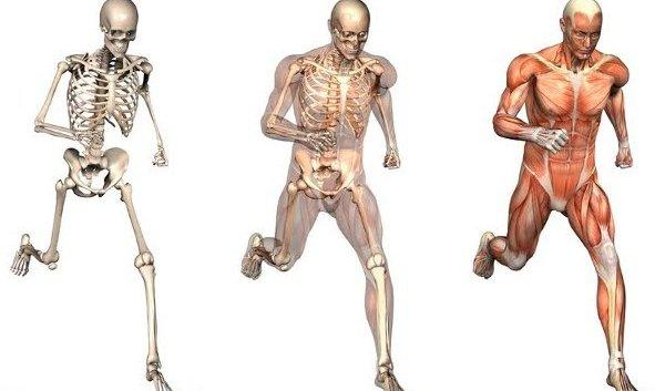 The Musculo-Skeletal System