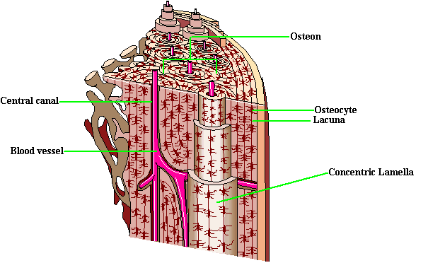 Compact bone: Matrix composed of Osteons or Haversian systems Calcium matrix