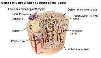 Osteocytes = bone cells that lie between lamellae in space called lacunae