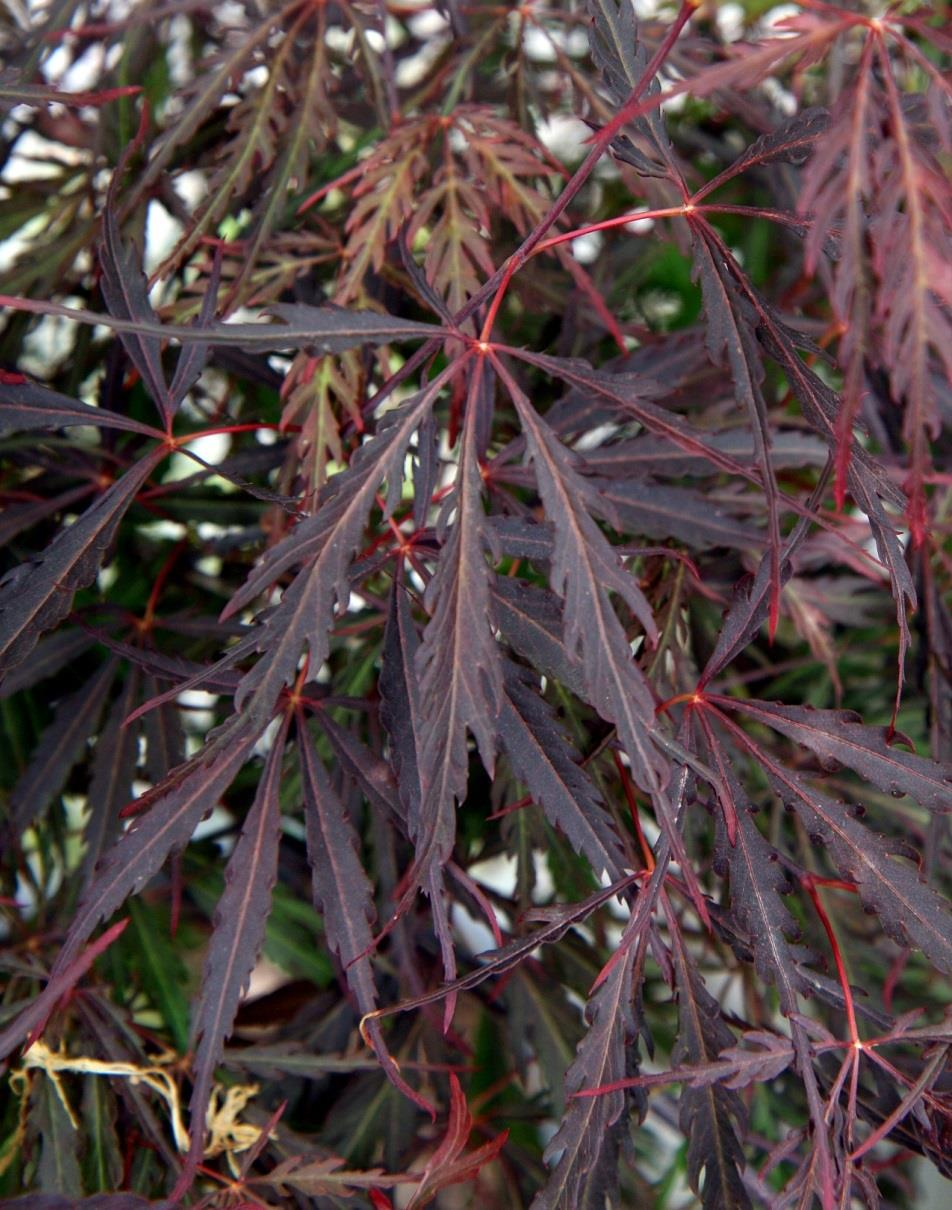 Acer palmatum Japanese Maple Cultivars that are both purple-leaved and