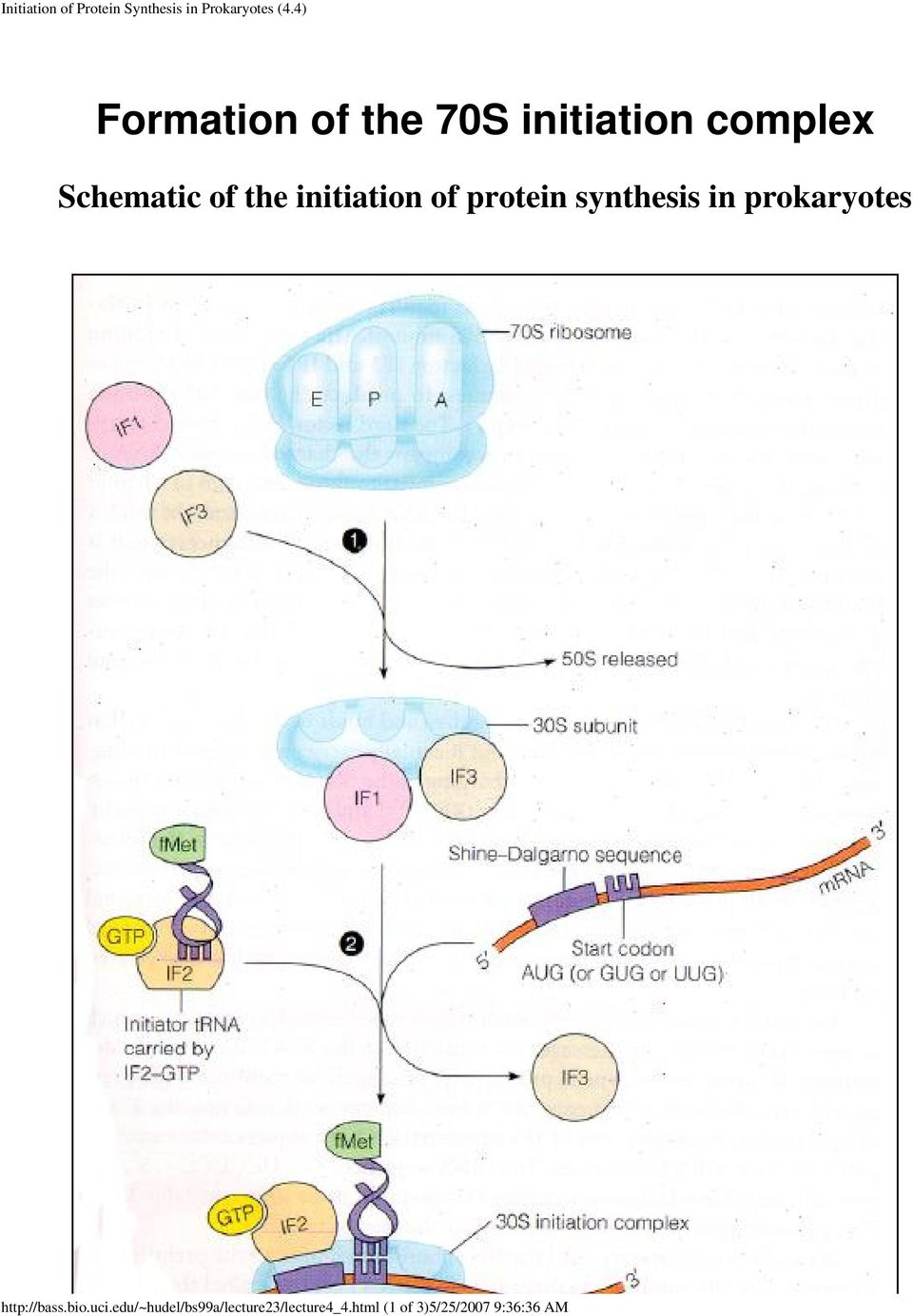 initiation of protein synthesis in prokaryotes http://bass.