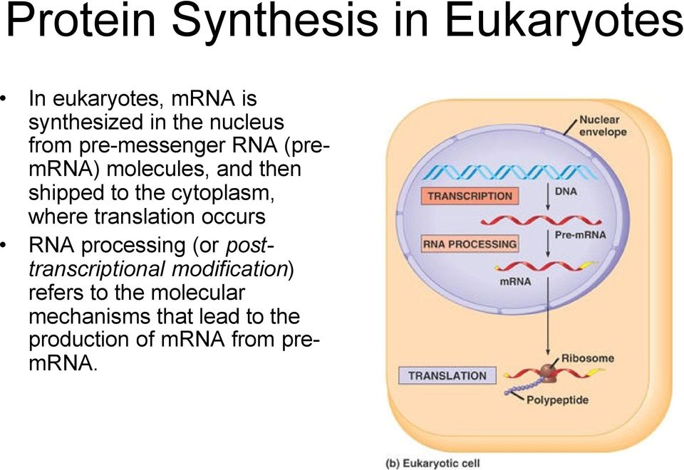 cytoplasm, where translation occurs RNA processing (or posttranscriptional
