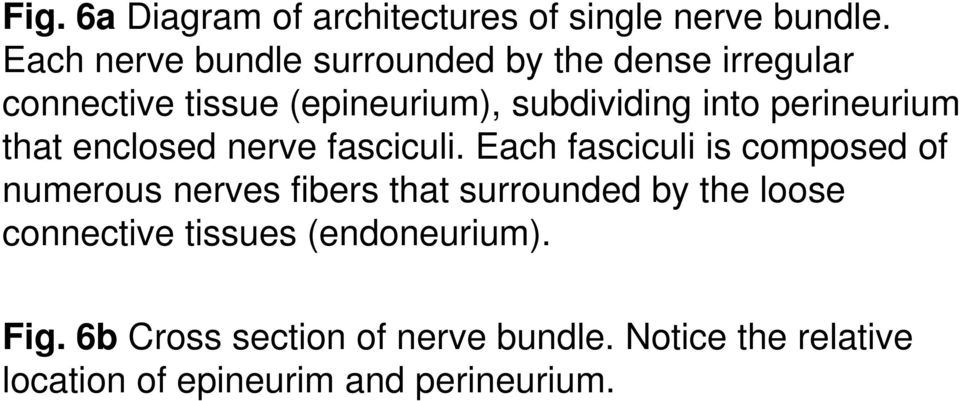 perineurium that enclosed nerve fasciculi.