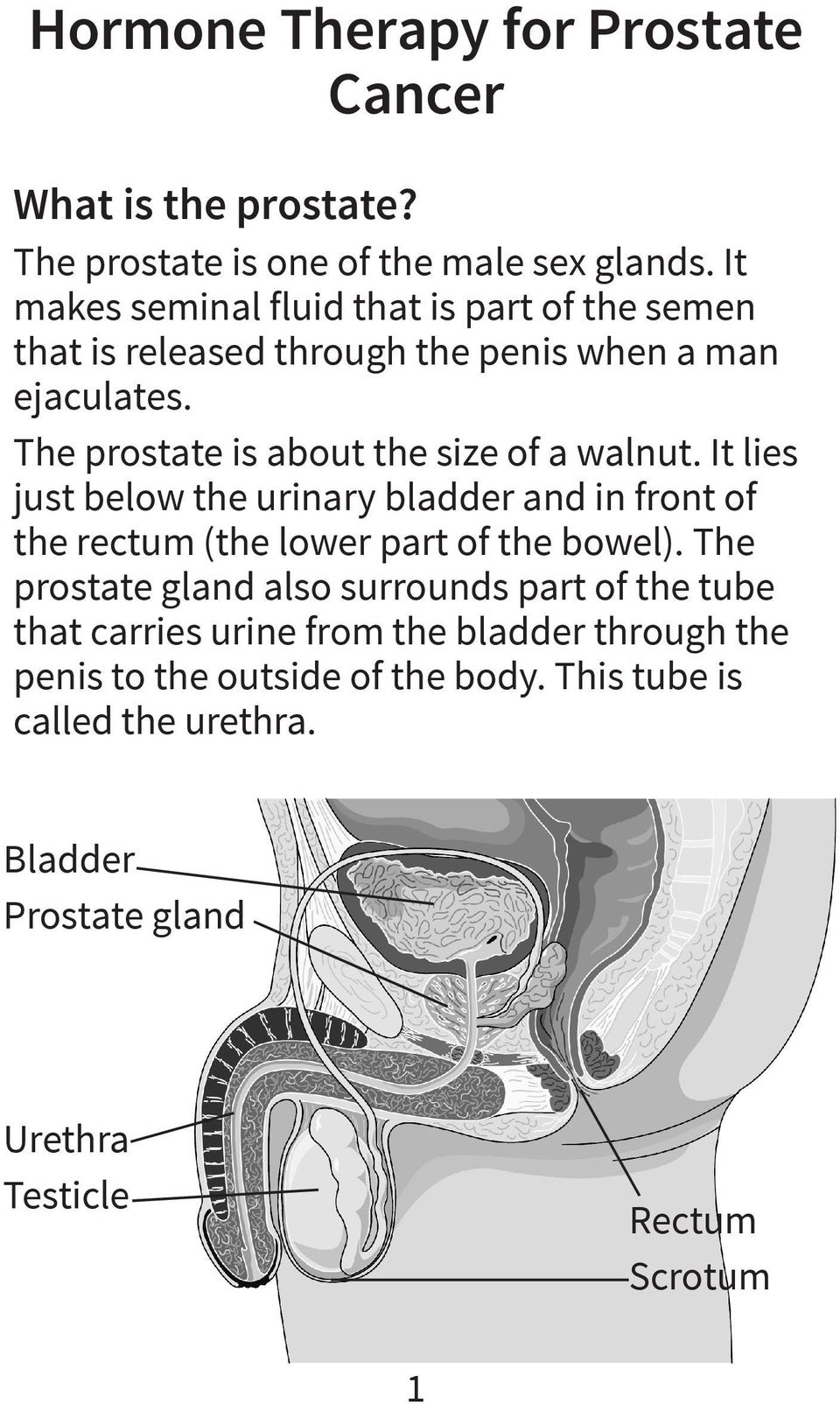 The prostate is about the size of a walnut. It lies just below the urinary bladder and in front of the rectum (the lower part of the bowel).