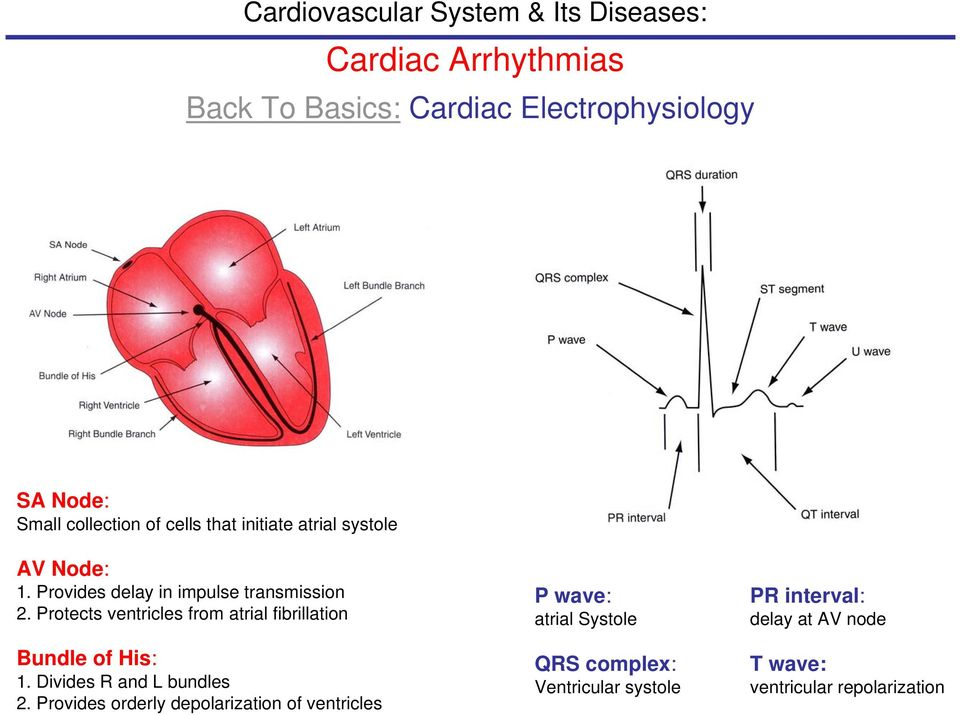 Protects ventricles from atrial fibrillation Bundle of His: 1. Divides R and L bundles 2.