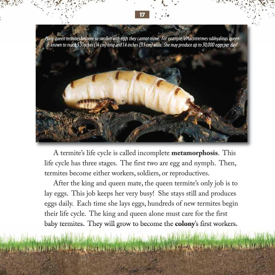 Then, termites become either workers, soldiers, or reproductives. After the king and queen mate, the queen termite s only job is to lay eggs. This job keeps her very busy!
