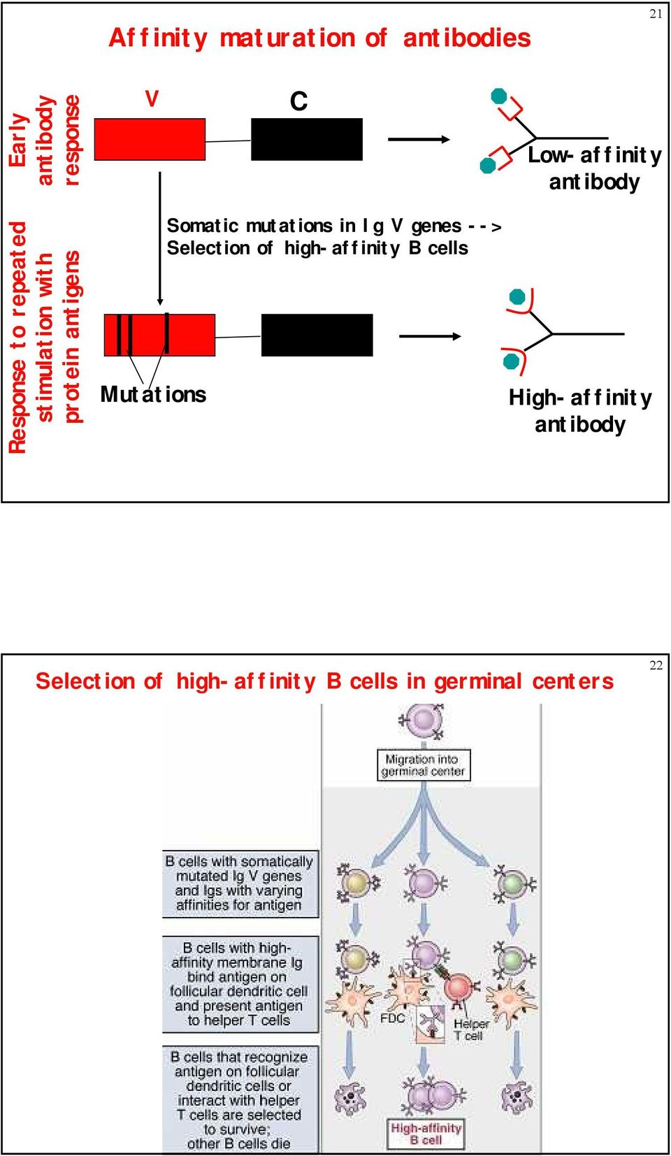 Somatic mutations in Ig V genes --> Selection of high-affinity B cells