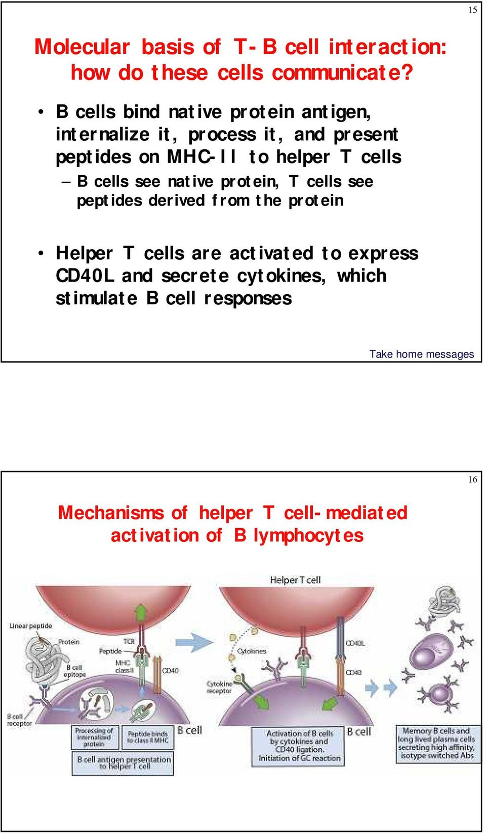 T cells B cells see native protein, T cells see peptides derived from the protein Helper T cells are