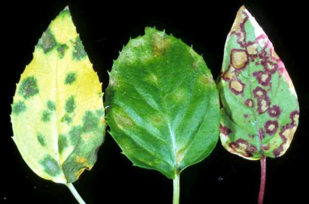 Symptoms: abnormal plant appearance Pucciniastrum rust of