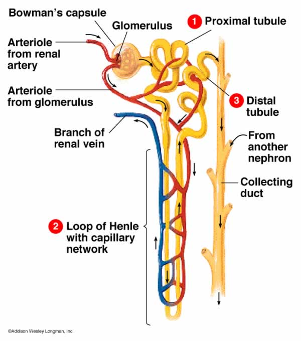 Structure of the Nephron