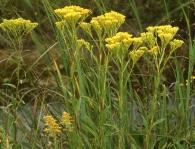Ohio Goldenrod Solidago ohioensis Height: 3-5 feet Spread: 1-2 feet Bloom Time: August-October Light: Sun to part sun Soil: Dry to