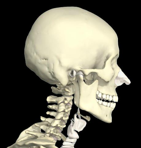 Bony Landmarks you are expected to know are: Head and neck: EOP Mastoid Process TVP C1 SP C2 Angle of mandible Hyoid bone SP C7 External Occipital