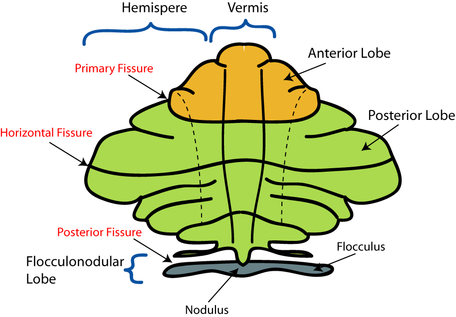 Cerebellum The second largest portion of brain (1/8 of brain mass). Occupies the inferior and posterior aspects of the cranial cavity. (posterior to medulla and pons and blow occipital lobes).