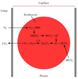Chemistry In Action: Maintaining the ph of Blood Red blood cells in a capillary 1 Weak Acid-Strong Base Titrations CH COOH (aq) +