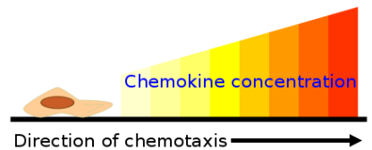 Chemical Responses 1. Kinins or chemokines (microbial peptides) are released by certain phagocytes.
