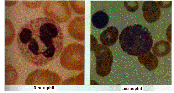 Neutrophils and Eosinophils Neutrophils- are the first to arrive; numerous (1 billion made each day); survive only a few days.