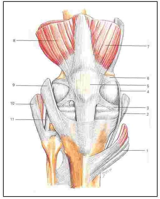 It also is attached to the bottom of the patella (knee cap). At the top of the patella, the quadriceps tendon is attached. The quadriceps muscle is the large muscle at the front of the tight.