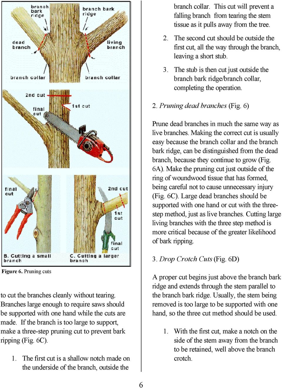 The stub is then cut just outside the branch bark ridge/branch collar, completing the operation. 2. Pruning dead branches (Fig. 6) Prune dead branches in much the same way as live branches.