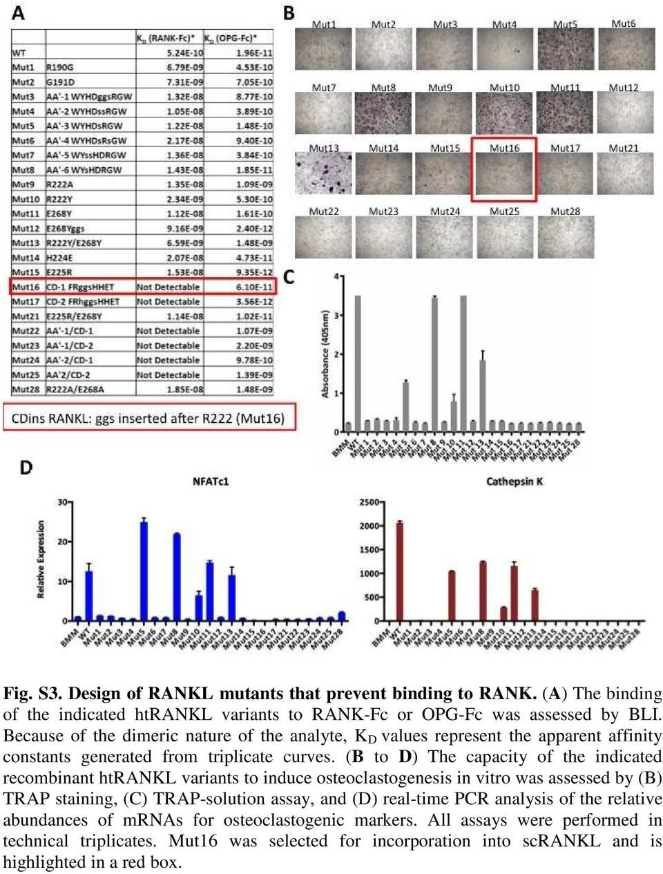 (B to D) The capacity of the indicated recombinant htrankl variants to induce osteoclastogenesis in vitro was assessed by (B) TRAP staining, (C) TRAP-solution assay, and
