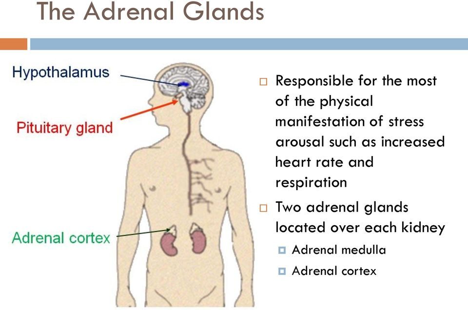 increased heart rate and respiration Two adrenal