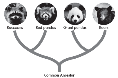 DNA in Classification 12. Why can genes be considered derived characters? Use the figure below to answer Questions 13 15. 13. According to the figure, which species is most closely related to red pandas?