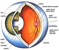 The front of the eye is protected by a membrane called the cornea.