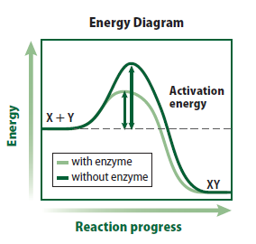 Enzymes Special proteins called enzymes are the biological catalysts that speed up the rate of
