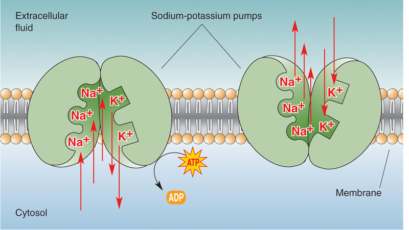 5. Active Transport aka Cell membrane pump What moves: LARGE molecules or ions, water soluble moves through carrier proteins ex: NaK pump nerve impulses, muscle