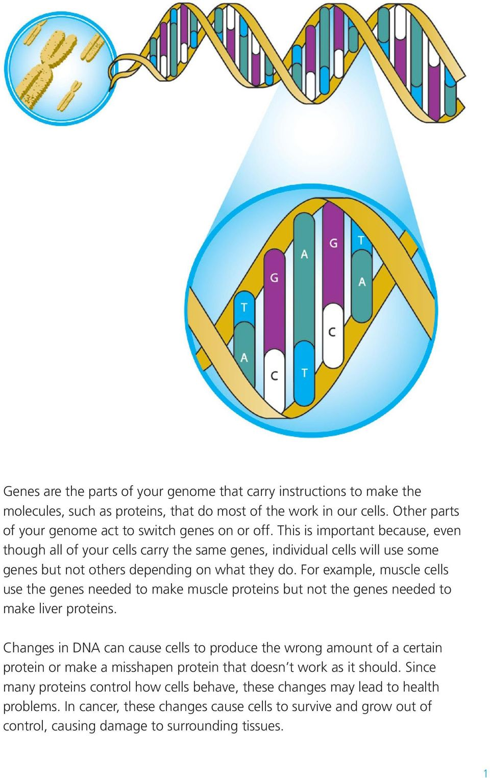 For example, muscle cells use the genes needed to make muscle proteins but not the genes needed to make liver proteins.