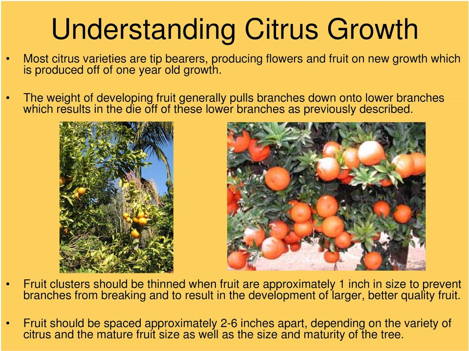 Fruit clusters should be thinned when fruit are approximately 1 inch in size to prevent branches from breaking and to result in the development of larger, better