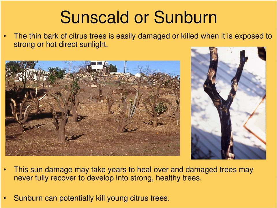 This sun damage may take years to heal over and damaged trees may never