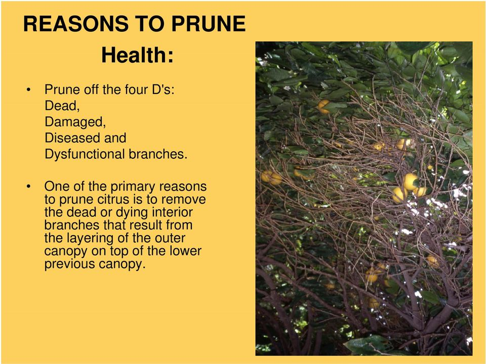 One of the primary reasons to prune citrus is to remove the dead d or