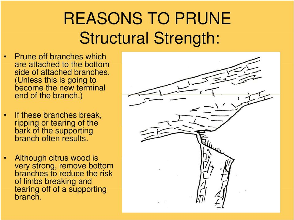 ) If these branches break, ripping or tearing of the bark of the supporting branch often results.