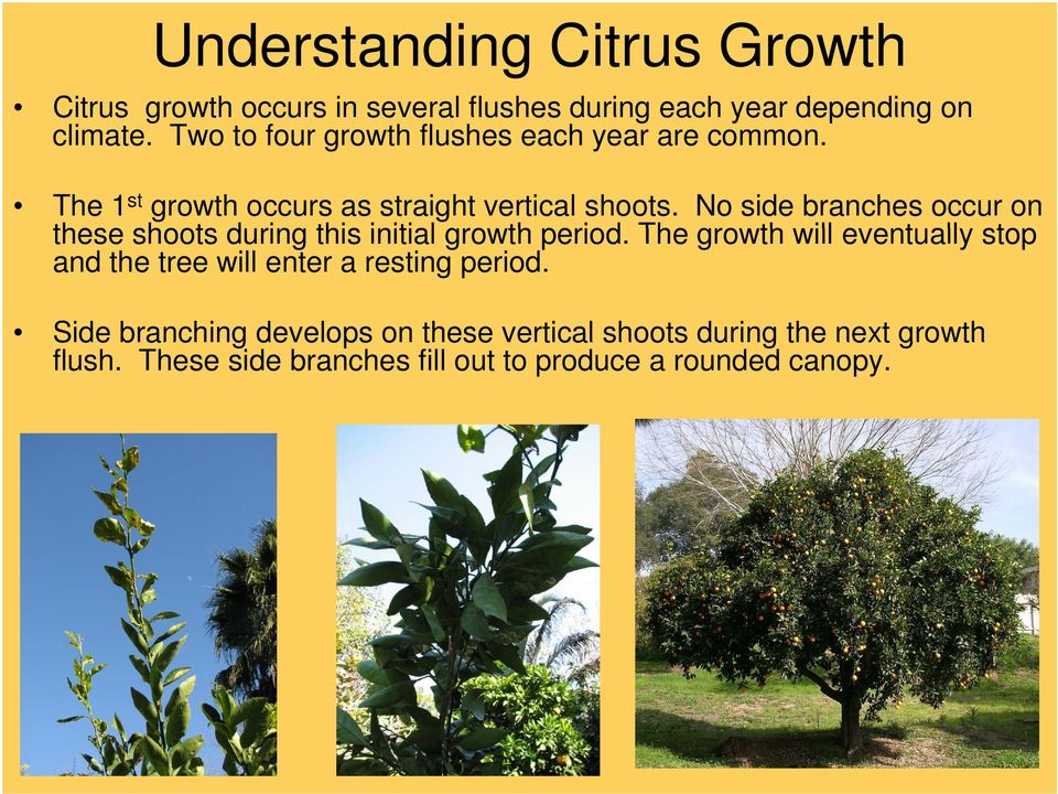 No side branches occur on these shoots during this initial growth period.