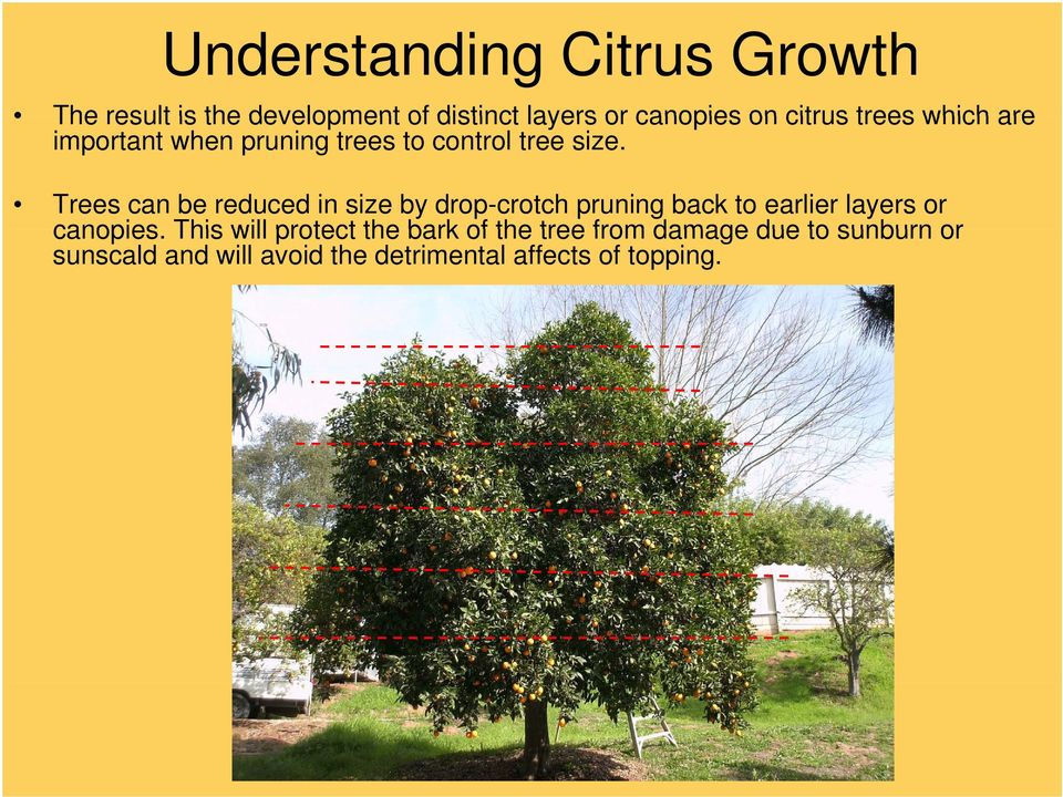 Trees can be reduced in size by drop-crotch pruning back to earlier layers or canopies.